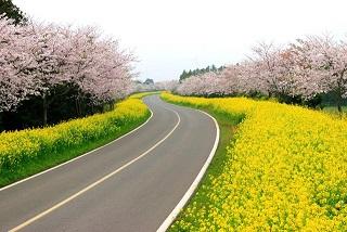 Điểm danh những lễ hội hoa anh đào nổi tiếng xứ Hàn
